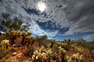 Cactus Cholla sur la boucle dans le désert du Arizona-Sonora Desert Museum. Photo : Jay Pierstorff.