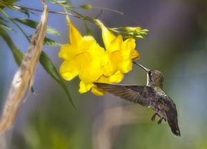 Oiseau-mouche dans la volière du Arizona-Sonora Desert Museum. Photo : Jay Pierstorff.