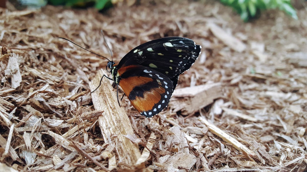 Papillons en liberté au Jardin botanique de Montréal