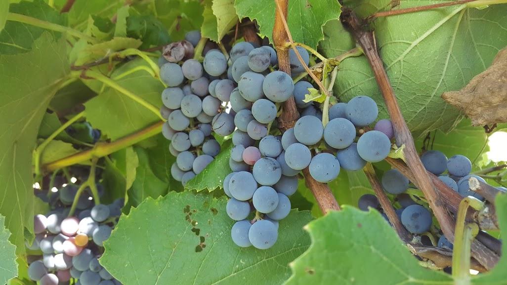vins québécois ontariens